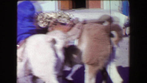 1968: Old miner giving girl llama ride around western USA tourist attraction Footage
