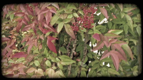 Close up of berry bush with leaves. Vintage stylized video clip Footage