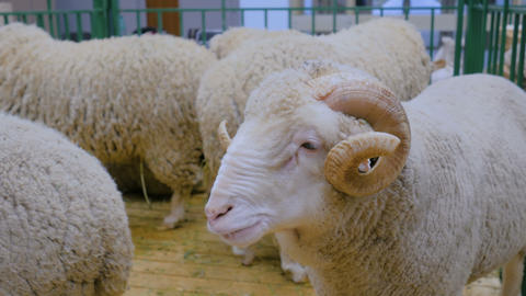 Fluffy ram with horns 영상물