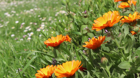 Marigold flowers caressed by the wind Footage