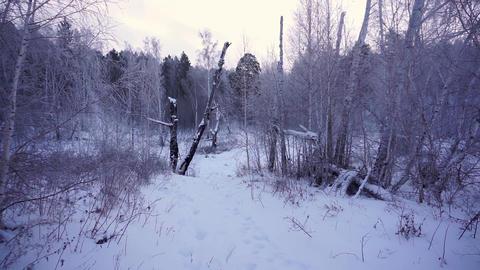 Winter forest. Siberian taiga Footage