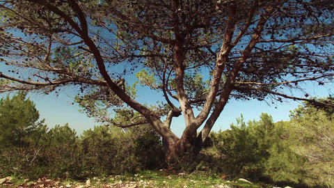 Stock Footage of a forest tree in Israel Footage