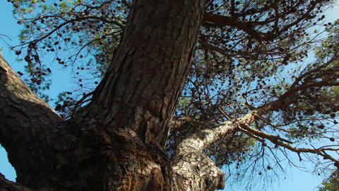 Stock Footage of coniferous tree branches in Israel Footage