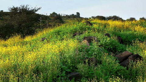 Stock Footage panorama of a hillside covered in yellow wildflowers in Israel Footage
