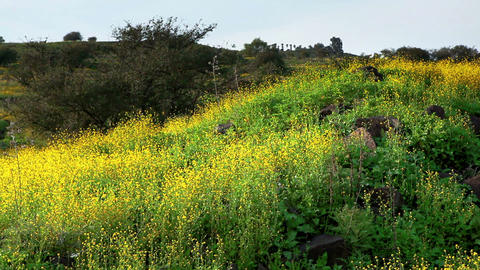 Stock Footage of a hillside covered in yellow wildflowers in Israel Footage