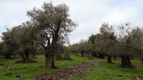 Stock Footage of a grove of olive trees in Israel Footage