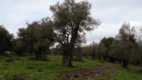 Stock Footage of olive trees in the Golan Heights, Israel Footage