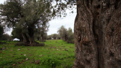 Stock Footage of an old olive tree trunk in a grove in Israel Footage