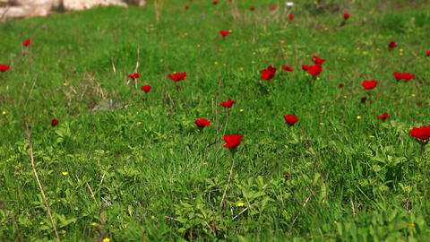Stock Footage of red flowers in a green field in Israel Footage