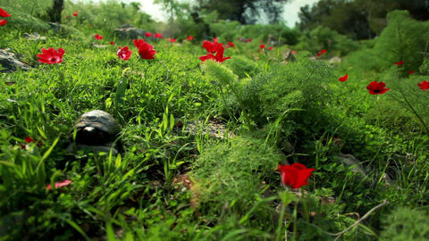 Stock Footage of a tortoise in a red-flowered field in Israel Footage