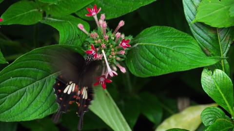 Butterfly Common Mormon ビデオ