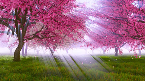 Blossoming sakura cherry trees in sunlight Slow-motion Footage