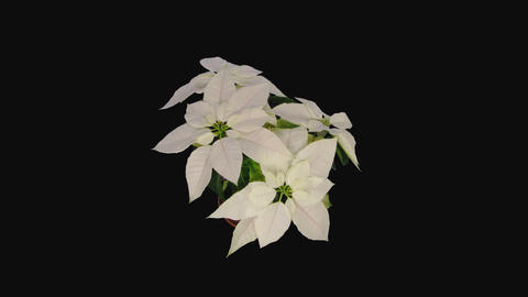 Time-lapse of resurrection dried up white poinsettia, 4K with ALPHA channel Footage