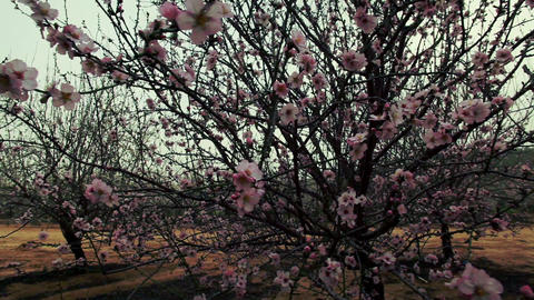 Stock Footage of a tree filled with pink blossoms in Israel Footage