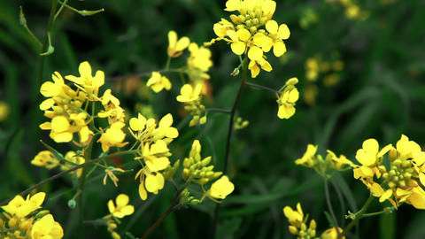 Stock Footage closeup of yellow wildflowers in Israel Footage