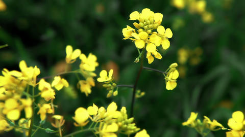 Stock Footage closeup of yellow wildflowers in the breeze in Israel Footage