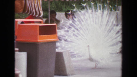 1970: Peacock bird free roaming zoo grounds showing plumage near food court Footage