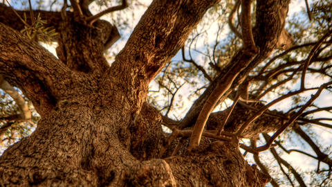 Tracking time-lapse looking up through an olive tree. Cropped Footage