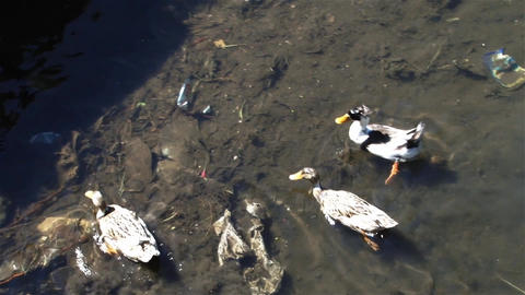 Water with more rubbish on a few ducks swimming 02 Footage