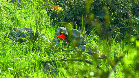 Royalty Free Stock Video Footage of red flowers in forest shot in Israel at 4k w Footage