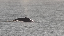 Humpback whale coming up for a breath in early morning light Footage