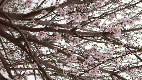 Royalty Free Stock Video Footage of pink blooming tree branches shot in Israel a Live Action