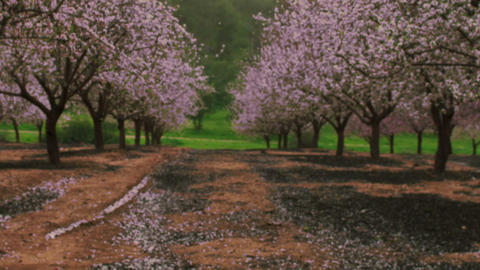 Royalty Free Stock Video Footage of a blooming pink orchard shot in Israel at 4k Live Action