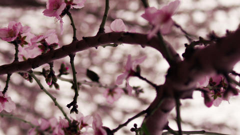 Royalty Free Stock Video Footage of a blossoming pink tree branch shot in Israel Live Action
