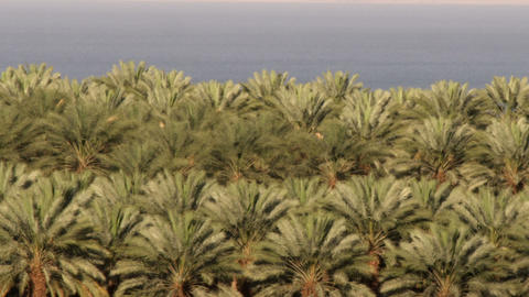 Royalty Free Stock Video Footage of a palm orchard at the Dead Sea shot in Israe Live Action