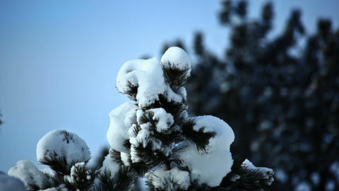 Snowy Pinetree Footage