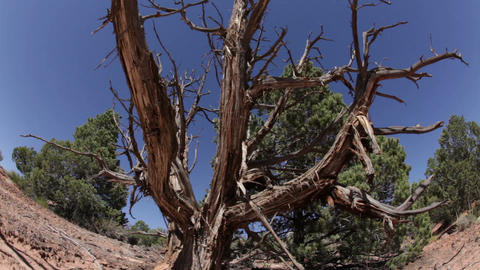 Dead, Weathered Tree in Desert Footage