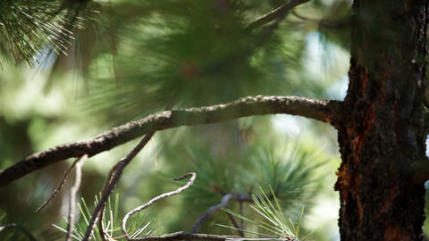 Young pine tree branches Footage