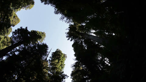 Pines against sky Footage