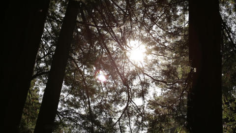 Sun through pine tree branches Footage