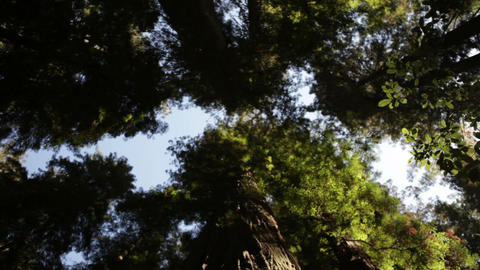 Canopy of tall pine trees Footage
