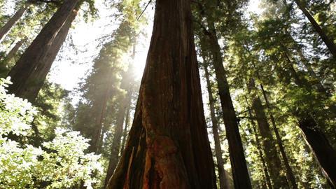 Sun breaks around pine trees Footage