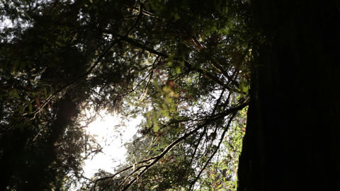 Tall pine trees with sun Footage