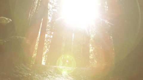 Sun breaking through pine trees Footage