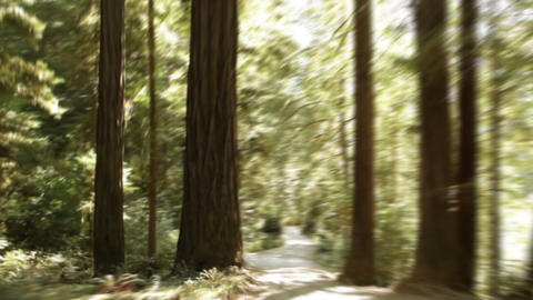 Paved path through redwood forest Footage