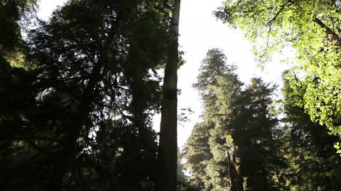 White sky against tall, dark redwood trees Footage
