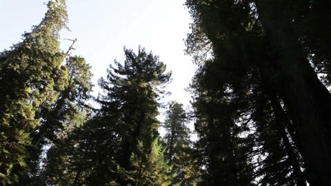 Bright sky against tall, dark redwood trees Footage
