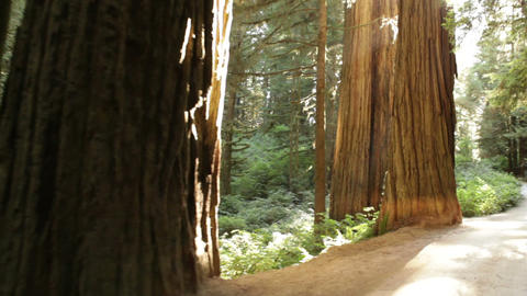 Redwood path near mid-day Footage