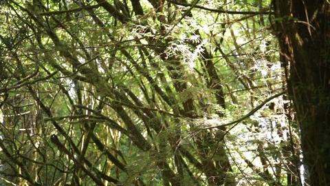Dense, mossy branches Footage