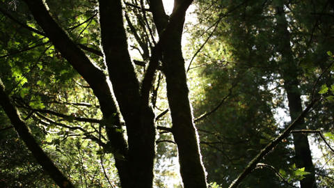 Sun through mossy branches Footage