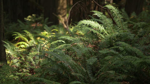 Ferns In Light Breeze Footage