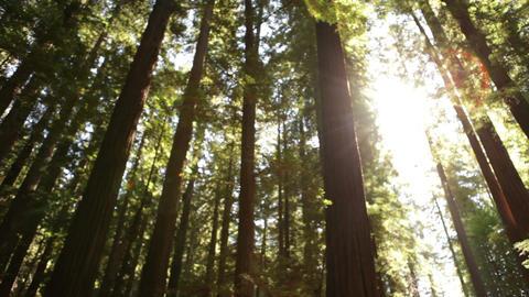 Sun Peeking Through Tall Grove Footage