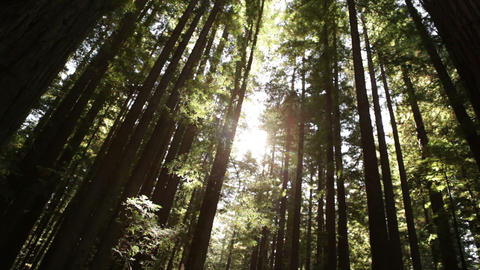 Sunlight Through a Tall Grove Footage