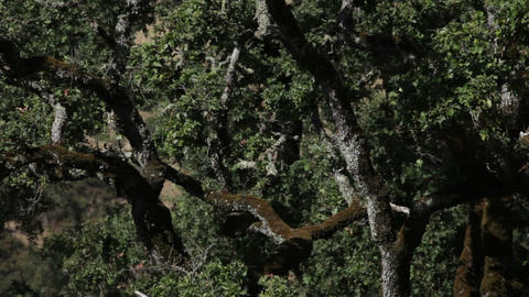Gnarled Trees with Lichens Footage