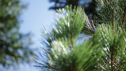 Tracking close-up shot of pine needles Footage