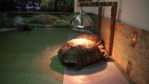 Two african spurred tortoise under the heating lamps Live Action